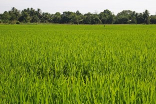 Rice field view from the fruit garden